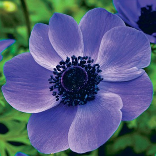 anemone de caen 39 mr fokker 39 best garden bulbs for spring. Black Bedroom Furniture Sets. Home Design Ideas