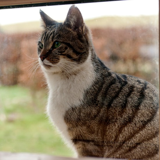 Tabby cat looking through window | Cats - the best cuddly ...