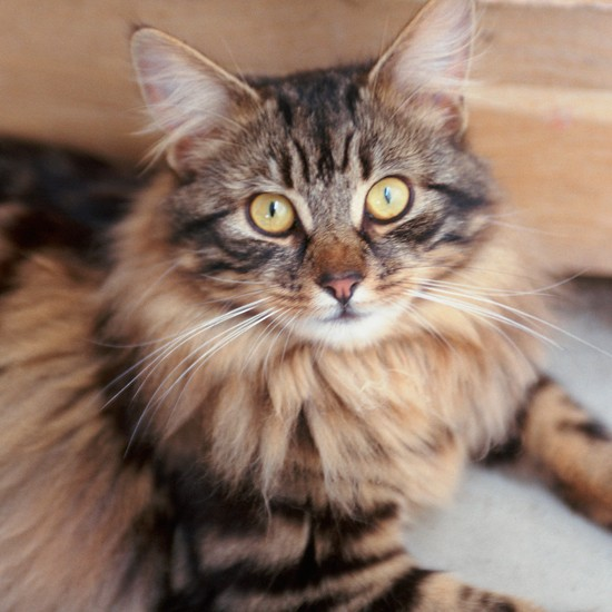 Long Haired Tabby Cat With Bengal Markings Cats The