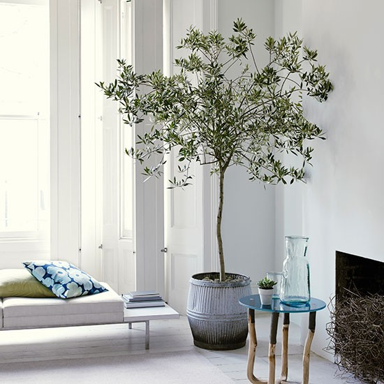 Indoor Tree Altar Bringing In: White Living Room With Olive Tree